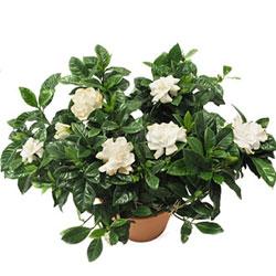 Gardenia saksı çiçeği ↕ 35 cm